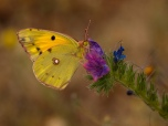 Clouded Yellow Butterly on Viper's Bugloss